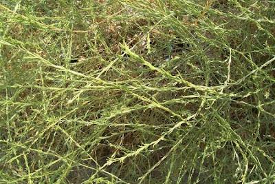Hirschfeldia incana, buchanweed, faux rapistre blanchâtre, Grauer Bastardsenf, hairy brassica, Hoary Mustard, ineixas, jaramago blanco, mostarda-bastarda, rúcula-bastarda, Senape canuta, shortpod mustard