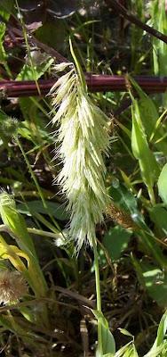 Lamarckia aurea, Golden Top Grass, goldentop, goldentop grass, Lamarckia