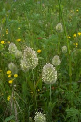 Lagurus ovatus, capim-de-jardim, hare's-tail, hare's-tail grass, harestail grass, Piumino, rabo-de-lebre