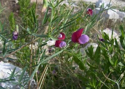 Lathyrus articulatus, Cicerchia articolata
