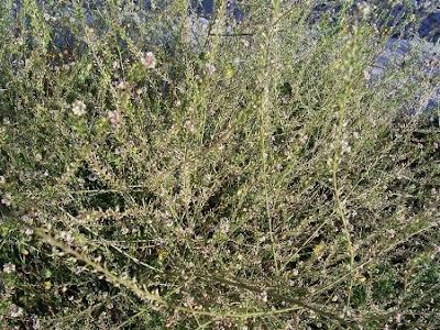 Lepidium graminifolium, grassleaf pepperweed, Lepidio graminifoglio, Tall Pepperwort