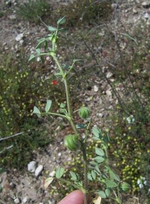 Medicago scutellata, Erba medica scudata, luzerna-escudelada, luzerne à écussons, Schlüssel-Schneckenklee, Schneckenklee, snail medic, snail medick, snail-clover