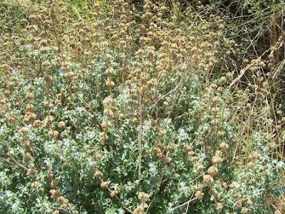 Marrubium vulgare, Andorn, horehound, marroio, marrube blanc, marrube vulgaire, Marrubio comune, marrubio común, Mentastro, white horehound