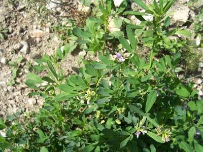 Medicago sativa, alfalfa, Erba medica, Erba Spagna, Medica, Purple Medic, yellow alfalfa