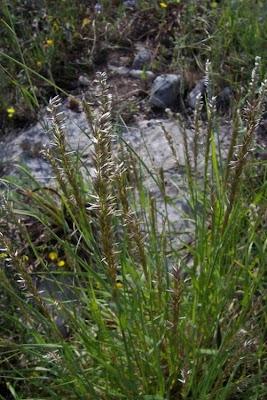 Melica ciliata, Eyelash Pearl Grass, Melica barbata