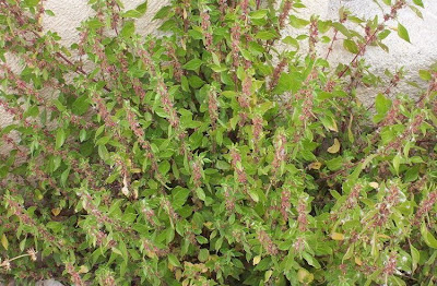Parietaria diffusa, pellitory-of-the-wall, Vetriola minore