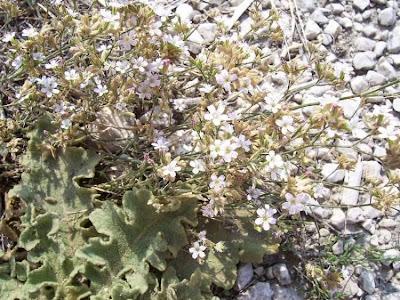 Petrorhagia saxifraga, coat-flower, Garofanina spaccasassi, saxifrage pink, saxifrage-pink, tunic-flower, Tunicflower