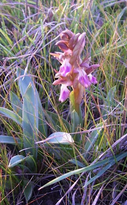 Orchis collina, Orchide a sacco