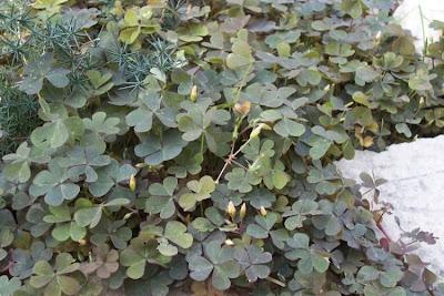 Oxalis corniculata, 'ihi, acederilla, Acetosella dei campi, azedinha, creeping lady's-sorrel, creeping oxalis, creeping wood-sorrel, creeping woods, creeping woodsorrel, erva-azeda-de-folha-pequena, Horn-Sauerklee, oxalis