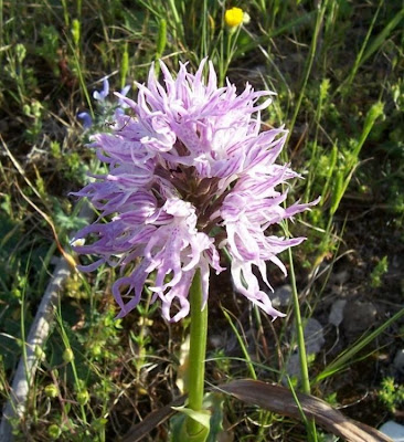 Orchis italica, Naked Man Orchid, Orchide italiana, Uomo nudo