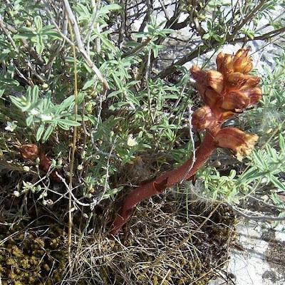 Orobanche alba, Succiamele del Serpillo, Thyme Broomrape
