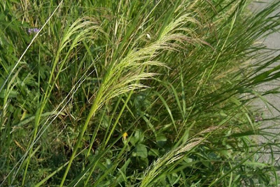 Oryzopsis miliacea, Miglio multifloro, Smilo Grass