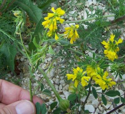 Trigonella corniculata, cultivated fenugreek, Fieno greco cornocolato, Sickle Fruited Fenugreek