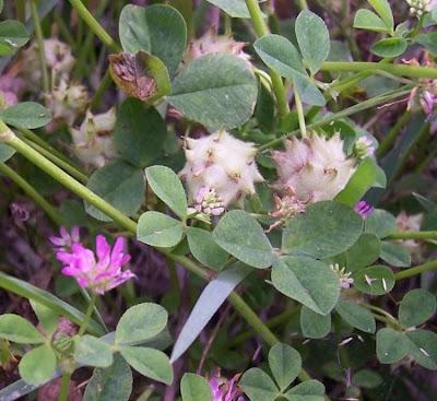 Trifolium resupinatum, bird-eye clover, Persian clover, persischer Klee, reversed clover, shaftal, shaftal clover, trevo-da-Pérsia, Trifoglio resupinato, trèfle renversé, trébol persa