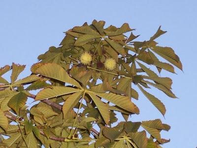 Aesculus hippocastanum, castaño de Indias, Common Horse Chestnut, horse chestnut, horse-chestnut, Horsechestnut, Ippocastano, marronnier, Roßkastanie