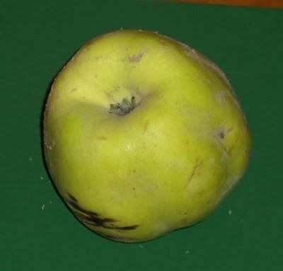 Cydonia oblonga, cognassier, coing, Cotogno, Golden Apple, marmelo, Mela cotogna, membrillero, membrillo, quince, Quitte, Quittenbaum, wen po