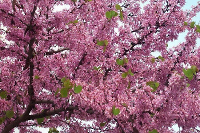 Cercis siliquastrum, Albero di Giuda, Judas-tree, lovetree, Redbud