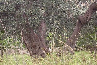 Olea europaea, African olive, azeitona, European olive, mzaituni, mzeituni, Oleastro, olive, olive-leaf, oliveira, olivier