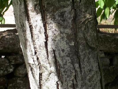 Juglans regia, Carpathian walnut, echte Walnuß, English walnut, hu tao, Madeira walnut, Noce comune, nogal común, nogal europeo, nogal inglés, nogueira-comum, nogueira-européia, noyer commun, Persian walnut, Walnut
