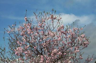 Prunus dulcis, almendro, almond, amandier, amandier commun, amendo, amendoeira, amêndoa-amarga, amêndoa-doce, bian tao, bitter almond, Bittermandelbaum, Common Almond, Mandel, Mandelbaum, Mandorlo, sweet almond