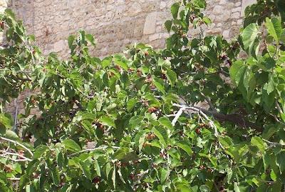 Morus nigra, amoreira-negra, black mulberry, Common Mulberry, Gelso nero, hei sang, moral negro, morera negra, Moro nero, mûrier noir, Persian Mulberry, schwarzer Maulbeerbaum, swartmoerbei