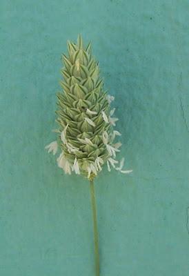 Phalaris brachystachys, alpista-brava, alpiste, Confused Canary Grass, phalaris à épi court, Scagliola cangiante, shortspike canarygrass