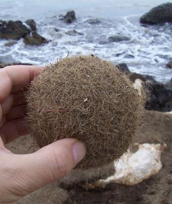 Posidonia oceanica, Mediterranean tapeweed, Neptune Grass, Posidonia oceanica