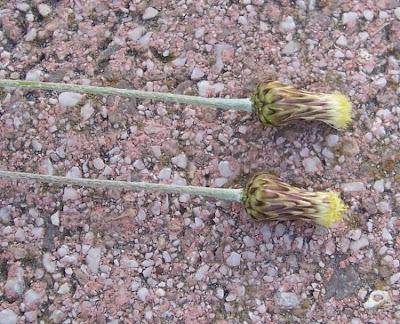 Phagnalon graecum, Eastern Phagnalon, Scuderi greco