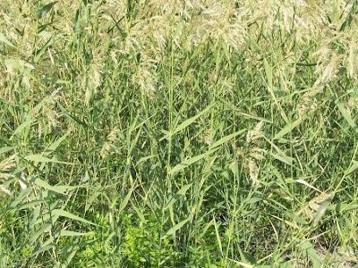 Phragmites australis, caniço, Cannuccia di palude, carrizo, carrizo común, common reed, ditch reed, giant reed, phragmite commun, phragmites, reed grass, roseau commun, Schilf, Schilfrohr