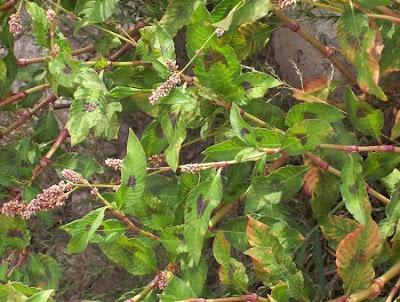 Polygonum lapathifolium, Ampfer-Knöterich, curltop ladysthumb, curlytop knotweed, curlytop smartweed, dock-leaf smartweed, erva-de-bicho-pruinosa, ma liao, mal-casada, nodding smartweed, pale persicaria, pale smartweed, persicaria mayor