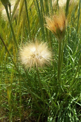 Scorzonera villosa, Scorzonera spinulosa, Villous Viper's Grass