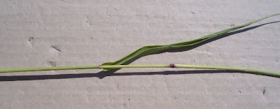 Setaria verticillata, almorejo, bristly foxtail, bur bristle grass, bur bristlegrass, bur grass, hooked bristlegrass, Pabbio verticillato, pega-saias, rough bristle grass, sétaire verticillée, Wirtel-Borstenhirse
