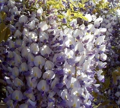 Wisteria sinensis, Chinese wisteria, Chinese-glycine, Glicine, zi teng
