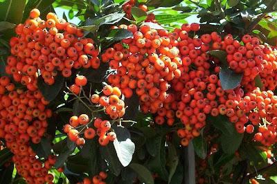 Pyracantha coccinea, Agazzino, buisson ardent, firethorn, pyracanth, scarlet firethorn