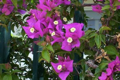 Bougainvillea spectabilis, Bougainvillea, buganvilia, Buganvillea, espinho-de-Santa-Rita, great bougainvillea, primavera, três-marias, ye zi hua