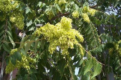 Ailanthus altissima, ailanthus, Albero del paradiso, China-sumac, Chinese tree-of-heaven, copal tree, hemelboom, stinktree, tree of heaven, tree-of-heaven, varnishtree
