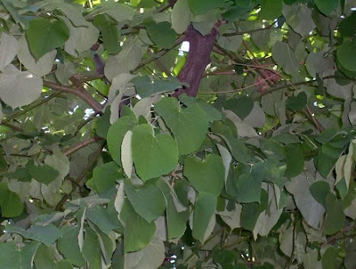 Tilia tomentosa, Hungarian silver linden, Silberlinde, silver lime, silver linden, Tiglio tomentoso, White Lime or Linden