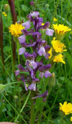 Orchis morio, Giglio caprino, Green Winged Orchid, green-winged orchid, Orchide minore, Pan di Cuculo, Salep