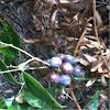 Unidentified ground vine