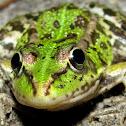 Perez's Frog