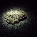 Jerdon's bull frog