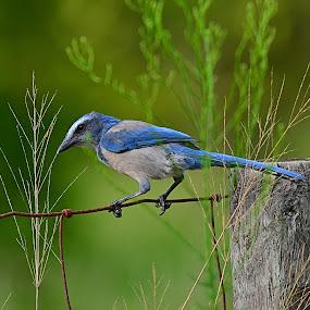 Endangered Florida Scrub Jay by Suzi Harr - Animals Birds ( florida scrub jay, florida, wildlife, endangered, birds,  )