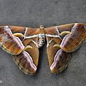 Wild Eri Silk Moth
