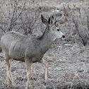 (Male) Mule Deer