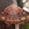 Velvetbean Caterpillar Moth.
