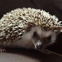 African Pygmy Hedgehog (Four-toed Hedgehog)