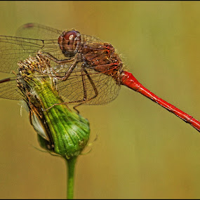 Red Dragon by Joseph T Dick - Animals Insects & Spiders