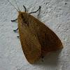 Brown Tiger Moth