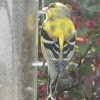 American Goldfinch (molts)