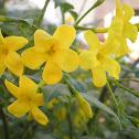 Jazmín amarillo. Winter Jasmin